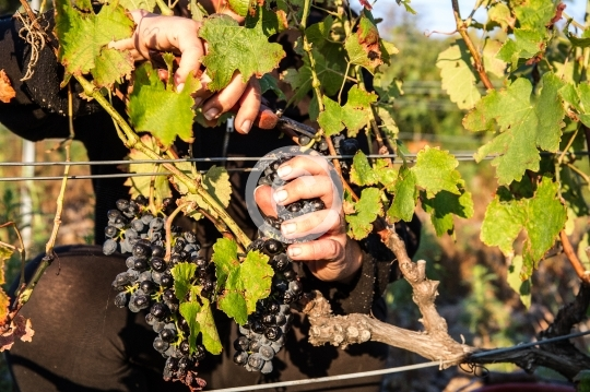 Vendanges : coupe d'une grappe